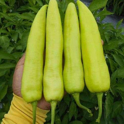 Pimenta Alongada Amarela