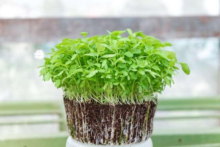 Microverdes: A solução para uma horta com pouca luz do sol